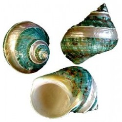 Conchiglie marine: Turbo Olearis verde bandata
