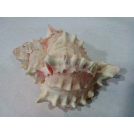 Murex  Bicolor Rosa