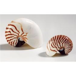 Vendita conchiglie online: Nautilus Pompilius Naturale